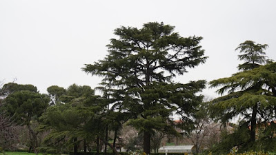 Cedro. Quinta de Torre Arias