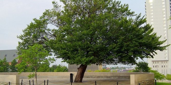 Tetap Berdiri Tegak, Lima Pohon Ini Menjadi Saksi Bisu Peristiwa Mengerikan Dunia