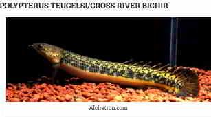 Polypterus teugelsi (Cross river bichir)