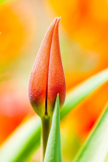 Beautiful Tulip Flowers Blooming in Focus