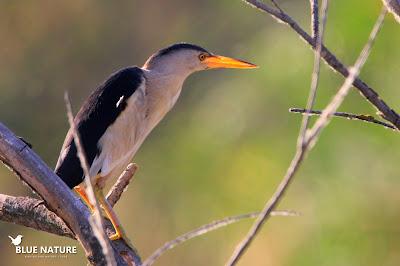 La zona encharcada de la IBA Cortados y Graveras del Jarama es el lugar idóneo para observar a esta garza de tamaño miniatura, el avetorillo común (Ixobrychus minutus).