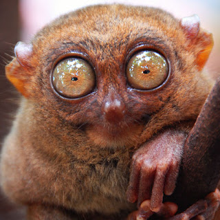Tarsier nocturnal animals