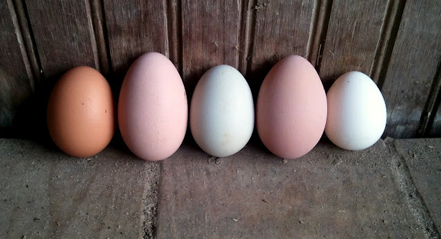 Images of Chicken Eggs Color - #rock-cafe