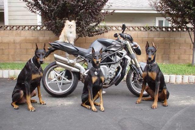 Three doberman retrievers sitting next to a motorcycle. White pomeranian dog sitting on motorcycle. Dog gang.