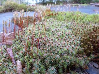 Exemples de sporophytes de mousses
