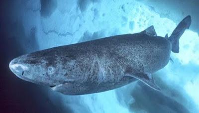 Δείτε γιατί οι καρχαρίες της Γροιλανδίας μπορούν να ζήσουν μέχρι και 400 χρόνια