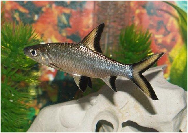 Gambar Ikan Hias Cantik – Ikan Hiu Bala
