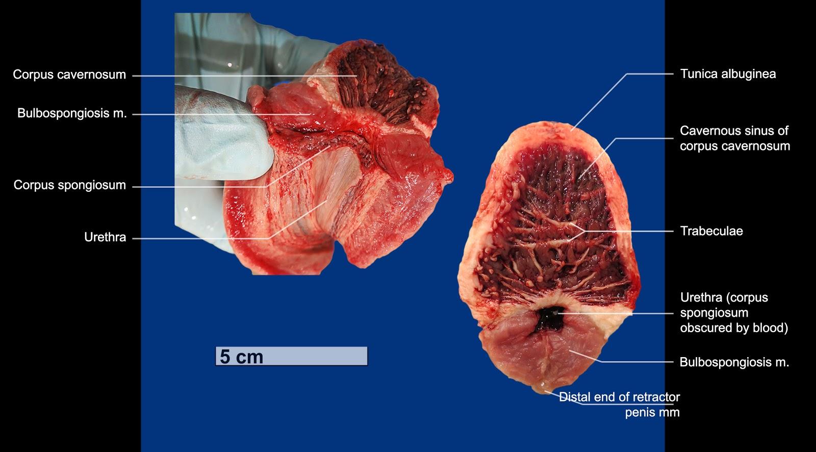 cross human Penis section