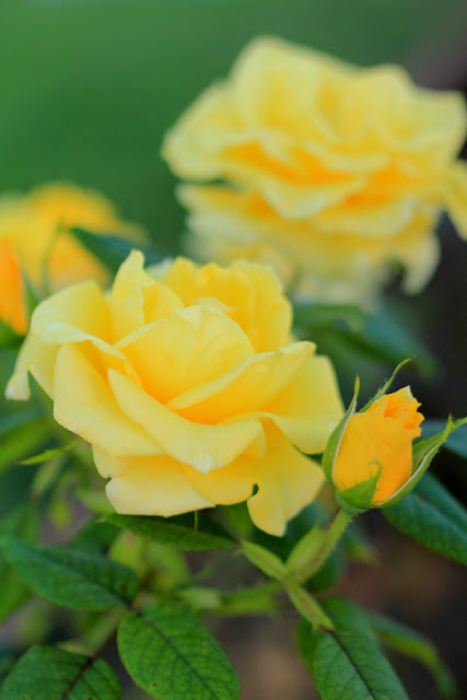 Yellow Roses - Flower Photography by Mademoiselle Mermaid