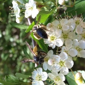 foraging, hawthorn tree, native pollinator, native solitary bee, small carpenter bee,