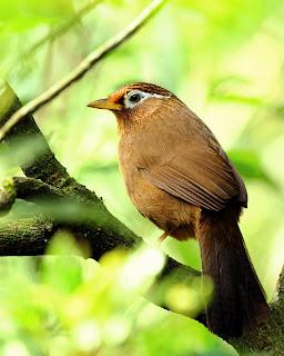 Burung Hwamei (Wambi) - Chinese Hwamei or Melodious