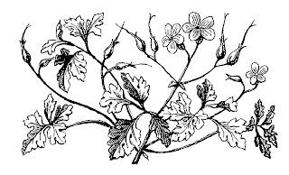 https://2.bp.blogspot.com/-obTbULN3oAM/WxgzAQXhmGI/AAAAAAAAjCk/HBu_SPx5D8ofjn2YqzcPnSfobFVJ7L6bACLcBGAs/s320/wildflower-drawing-art-herb-robert-image.jpg