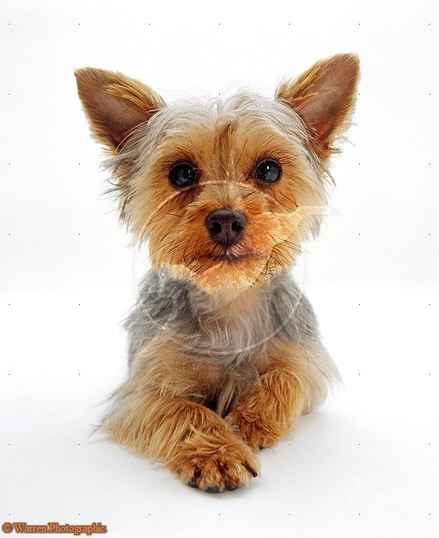 yorkshire terrier white cute puppy dogs white yorkshire terrier puppies 7720