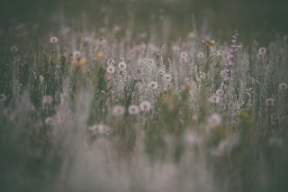 Are there weeds in my life?  Image of dandelions in a field in seed