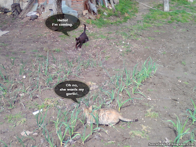 The Cats Among the Garlic Part 2