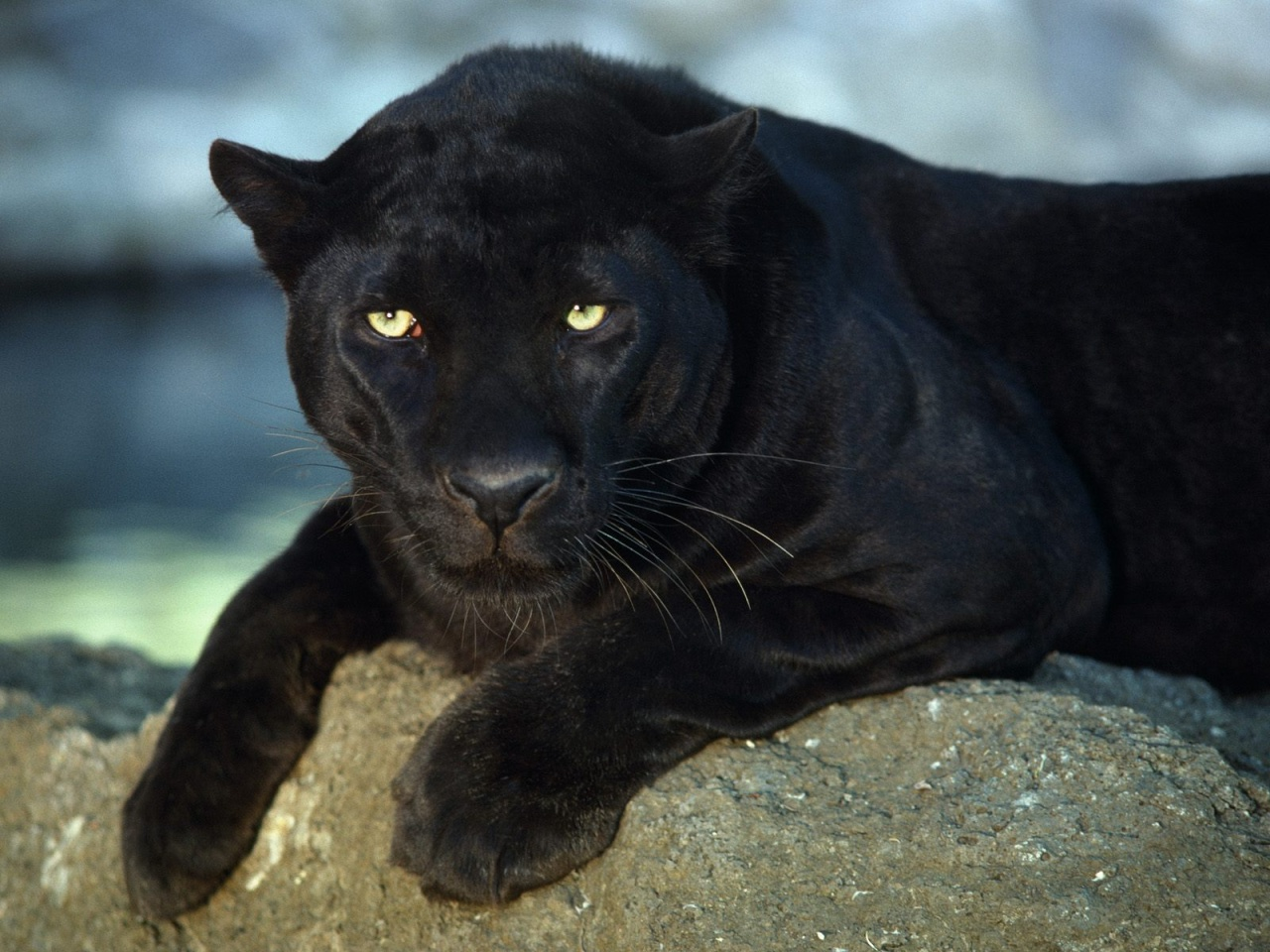 World Images Gallery: Black Panther - photo#2