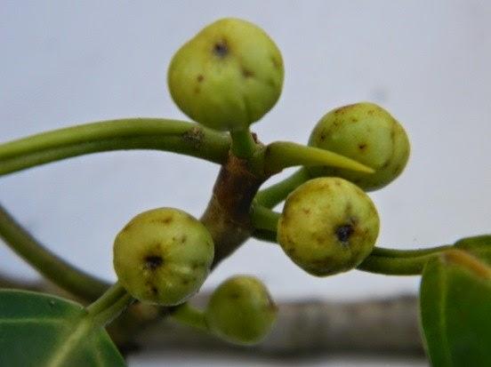 ficus frunze de la varicoză)