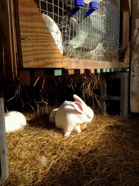 "rabbits live happily ""colony style"" in the cheep shed in winter"