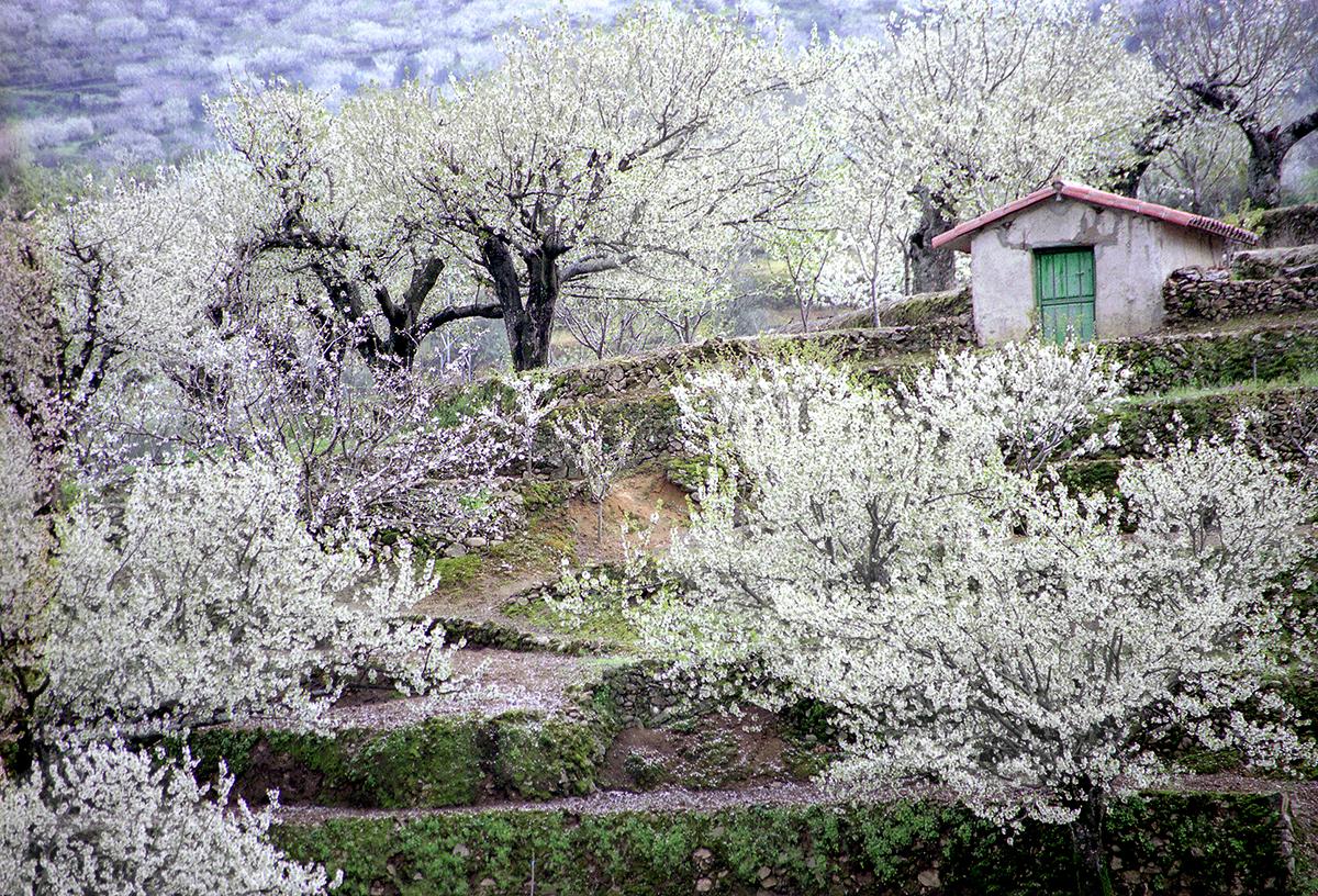 Cerezo En Flor Valle Del Jerte Programa Oficial 2019 Primavera Y