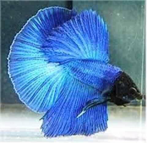 ikan cupang pembunuh planaria