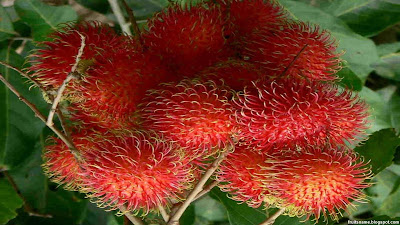 rambutan is an exotic fruit