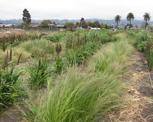 Photo of millet varieties and teff at UC Berkeley's Gill Tract