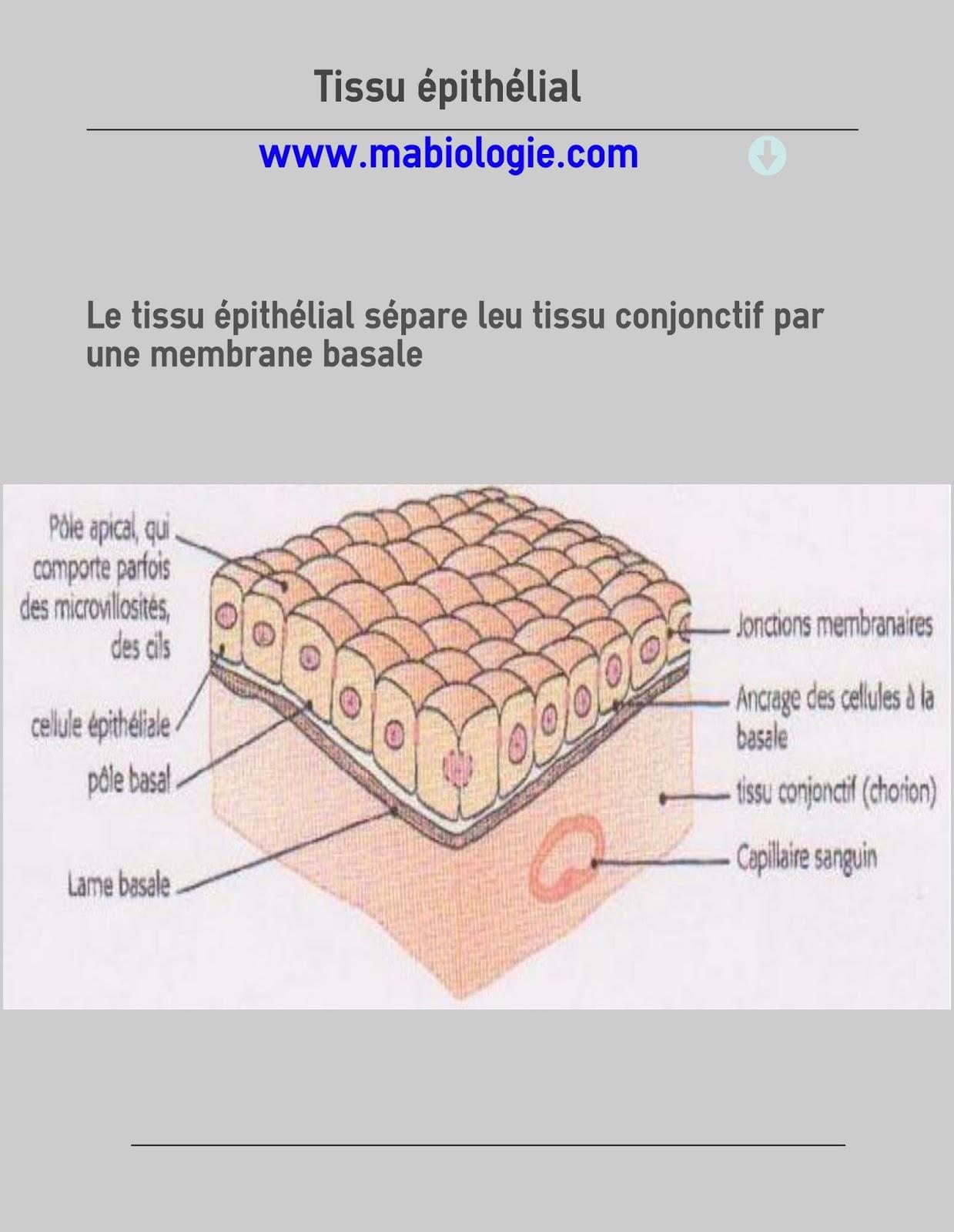 Définition Tissu épithélial