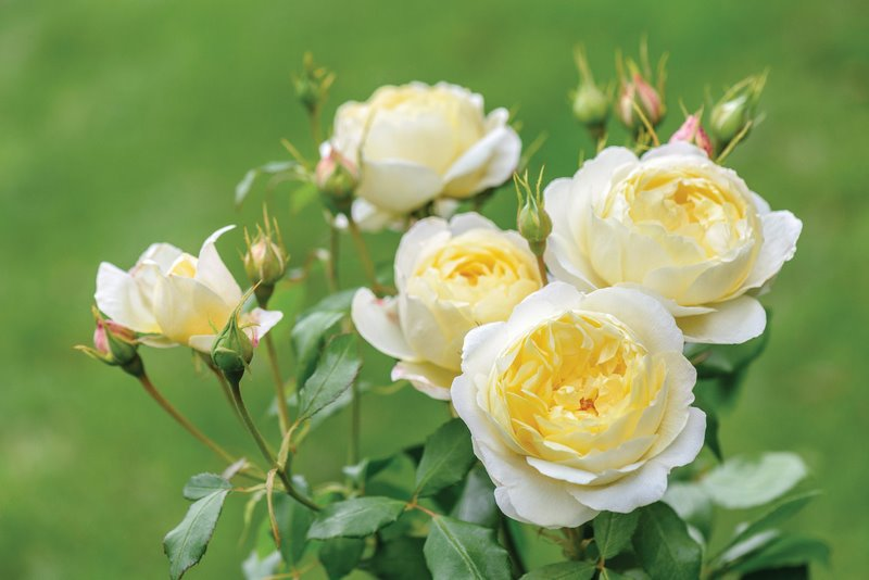 Rosa 'Vanessa Bell' English Musk Hybrid David Austin Roses