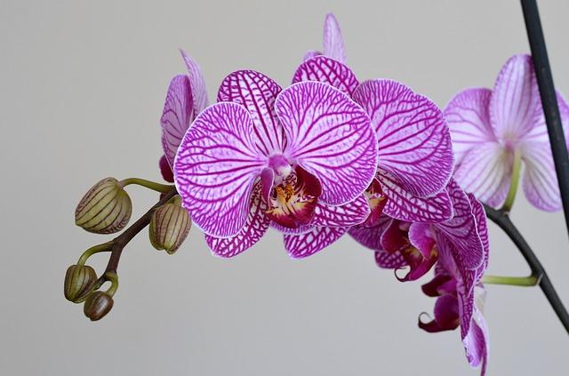 hoa lan hồ điệp đẹp 6