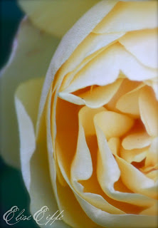 Yellow Rose Petals Photograph Burra Bed & Breakfast Old Fashioned