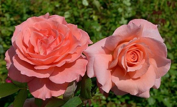 Institut Lumiere сорт розы фото