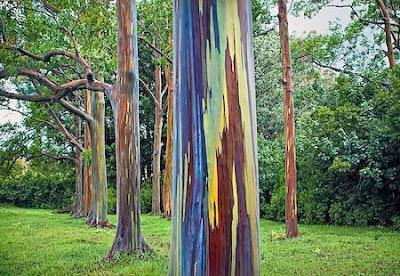 Harga Pohon Eucalyptus | Jual Bibit Pohon Rainbow | Pohon eukaliptus Rainbow