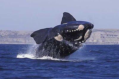 Whale Watching in Valdés Peninsula - Puerto Pirámides y Puerto Madryn