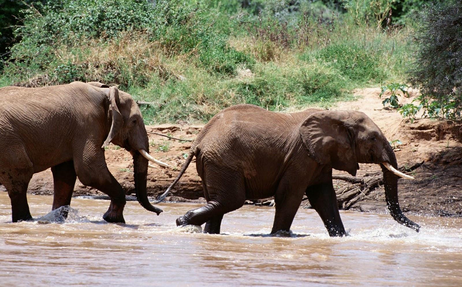 olifanten achtergronden bureaublad - photo #9