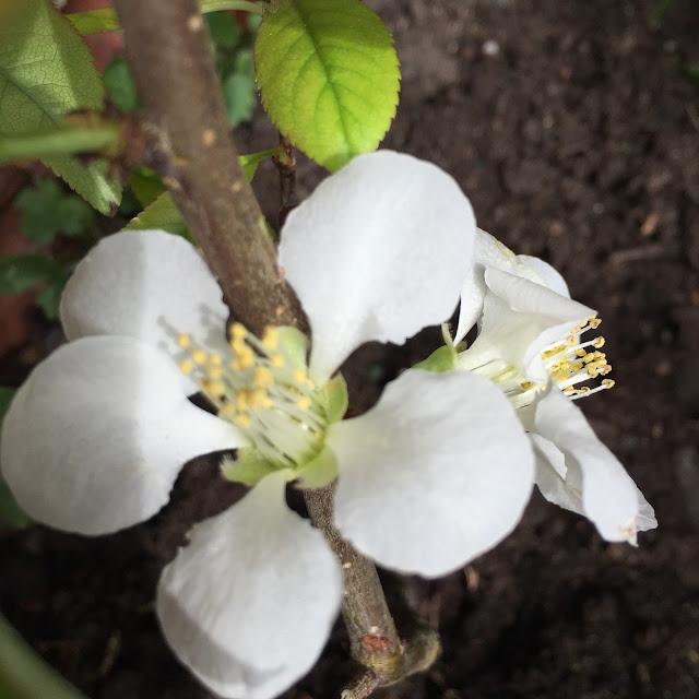 chaenomeles in garden