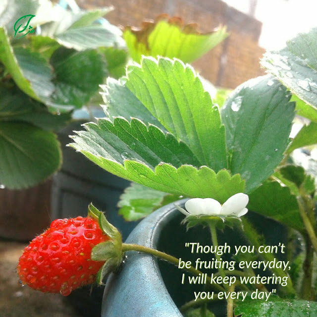 Doa Harus, Ikhtiyar Terus. Strawberry quote. Stroberi