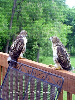 Hawks on the back deck | www.BakingInATornado.com | #nature #hawks