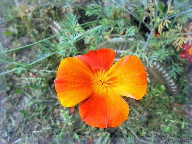 эшшольция ярка-оранжевая