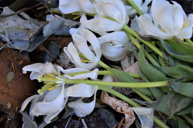 Tulipan i forfall. Foto 11