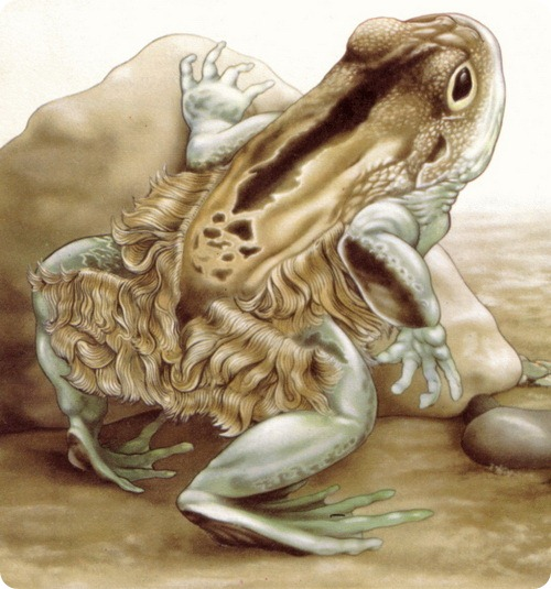 Hairy Frogs 80
