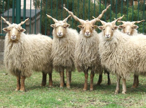 Racka Sheep Characteristics & Breed Information | Modern Farming Methods