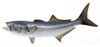 Lüfer balığının yandan görünüşü