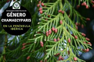 El género Chamaecyparis arboles siempre verdes, de porte generalmente piramidal. Pueden llegar a medir hasta 60 m de altura