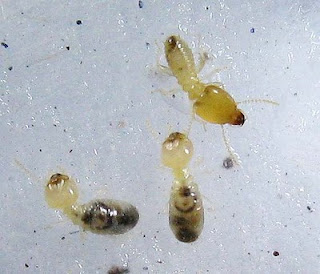 Soldiers and worker of Parrhinotermes termite