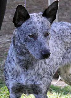Australian Stumpy Tail Cattle Dog-dogs-pets-dog breeds