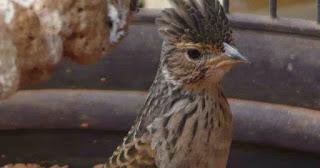 Burung Branjangan - Yang Sangat Prospek Untuk Diperjualbelikan atai Bisnis