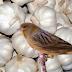 Manfaat Bawang Putih Untuk Burung Kenari Sangat Luar Biasa