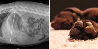 Οι κτηνίατροι έμειναν με το στόμα ανοιχτό όταν είδαν τι είχε καταπιεί ο σκύλος