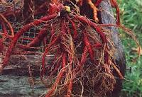 Obat klep jantung bocor herbal