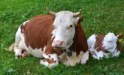 74 Gambar Binatang Ternak Dan Makanannya Terbaik